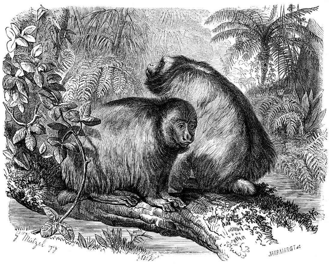 Лысый уакари (cacajao calvus)