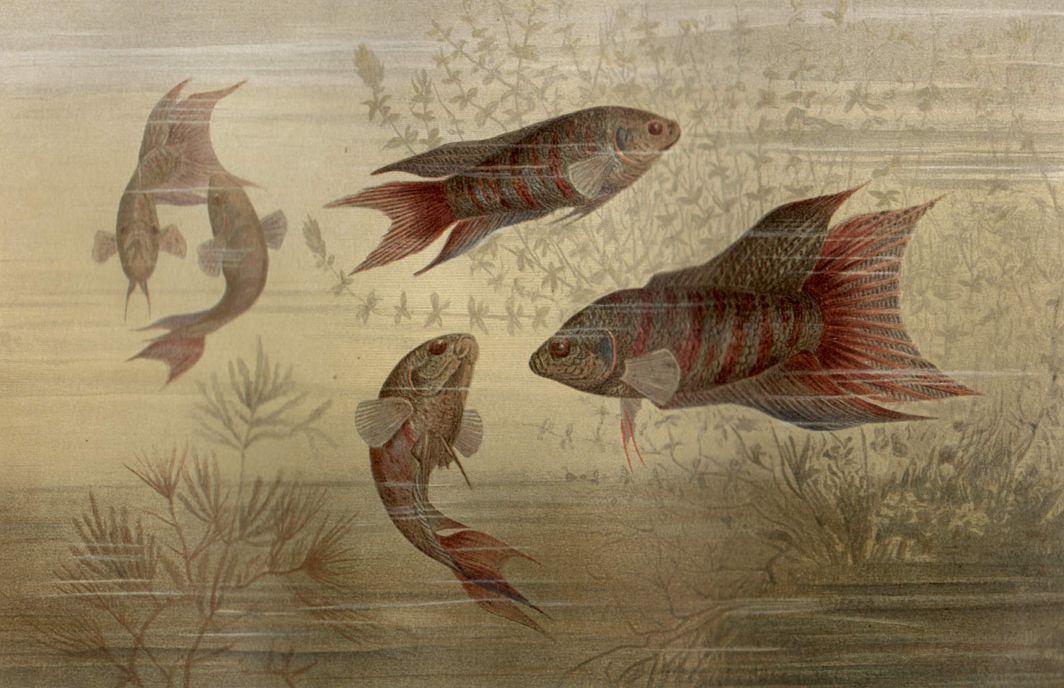 Макропод (Macropodiis viridiauratus)