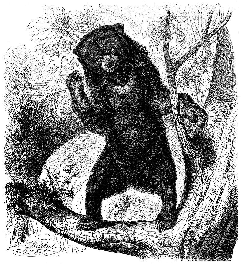 Малайский медведь, или бируанг (Helarсtos malayanus)
