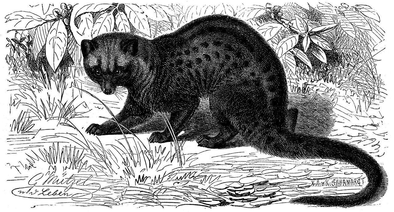 Малайский мусанг (Paradoxurus hermaplwoclitus)