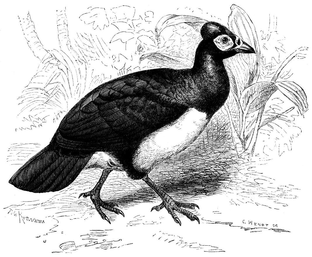 Малео (Macrocephalon maleo)