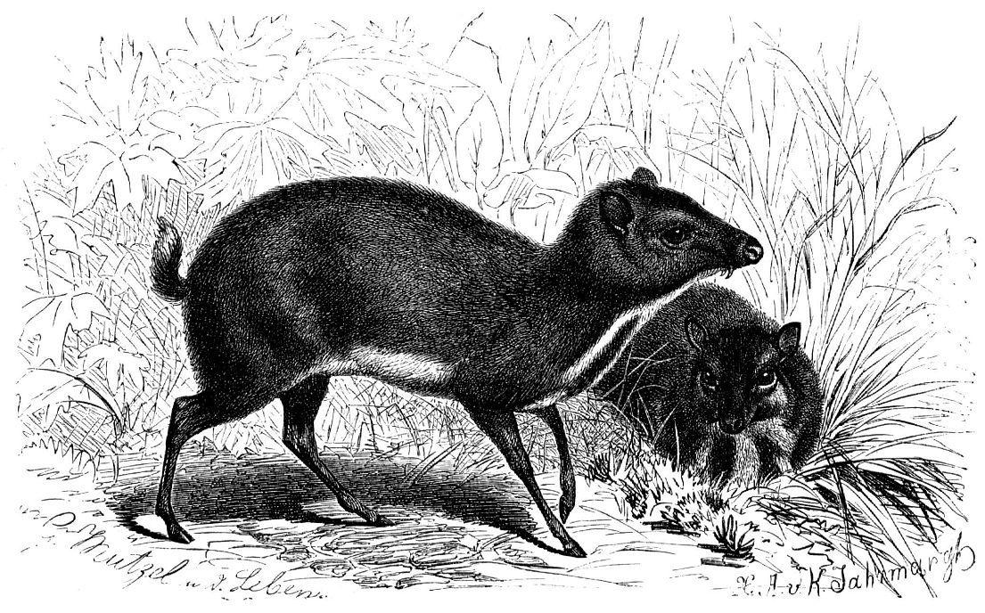Малый оленек (Tragulus javanicus)