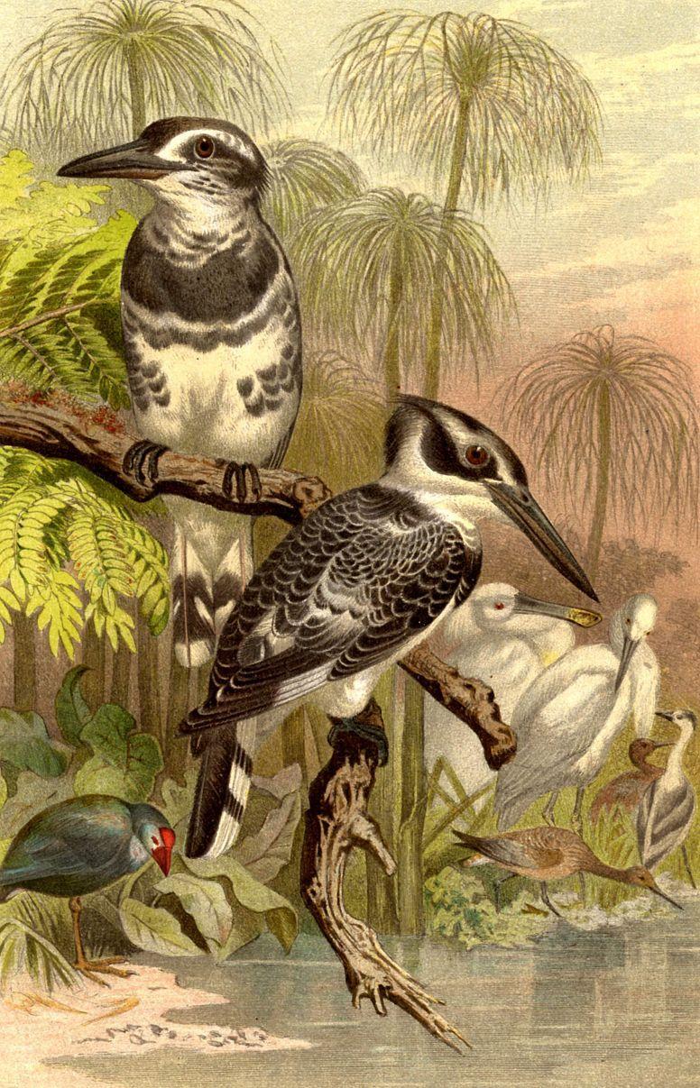Малый пегий зимородок (Ceryle rudis)