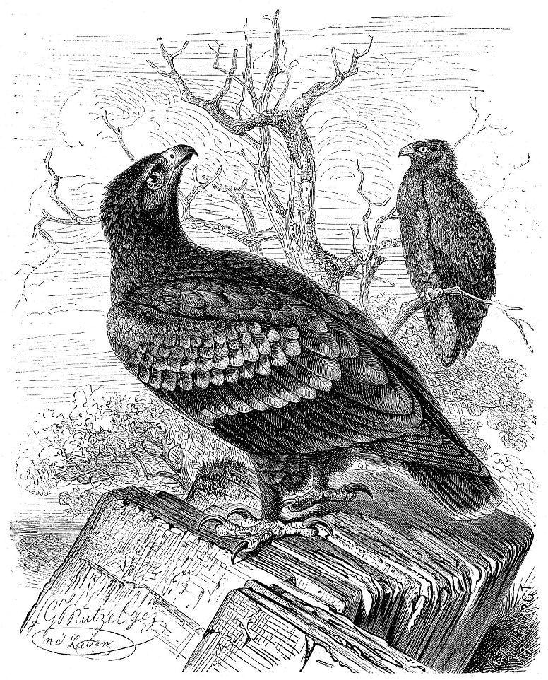 Малый подорлик (Aquila pomarina)