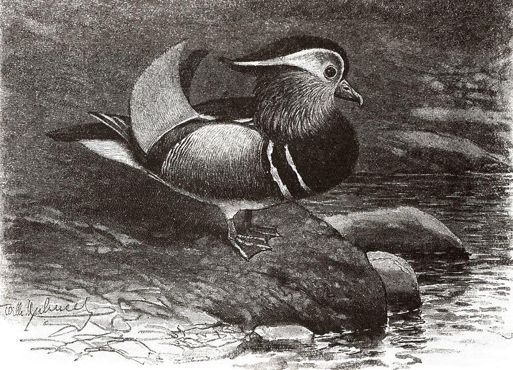 Мандаринка (Aix galericulata)