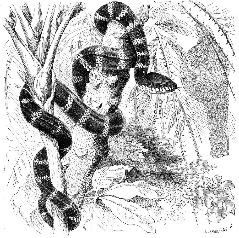 Мангровая змея (Boiga dendrophila)