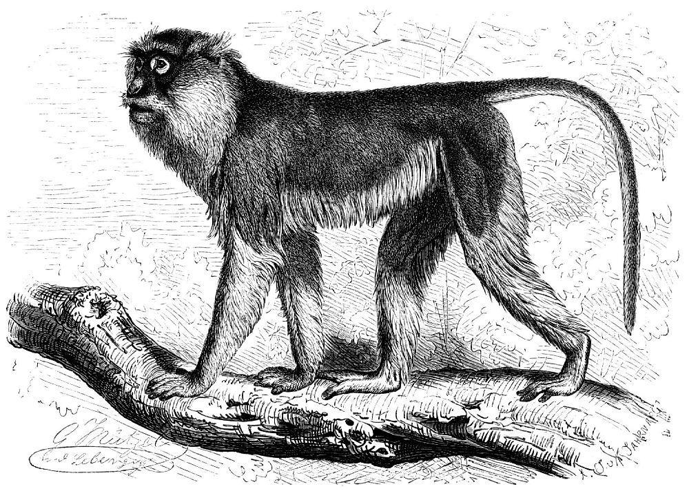 Мартышка-гусар (Eiythrocebus pittas)