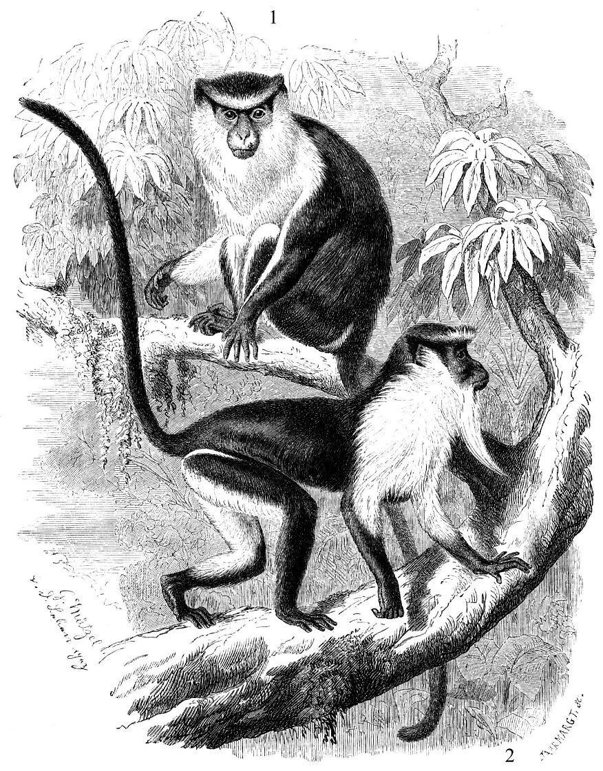 1 - Мартышка мона (Cercopithecus топа) 2 - Мартышка-диана (Cercopithecus diana)