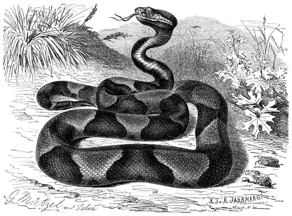 Медноголовый, или мокасиновый, щитомордник (Agkistrodon contortnx)