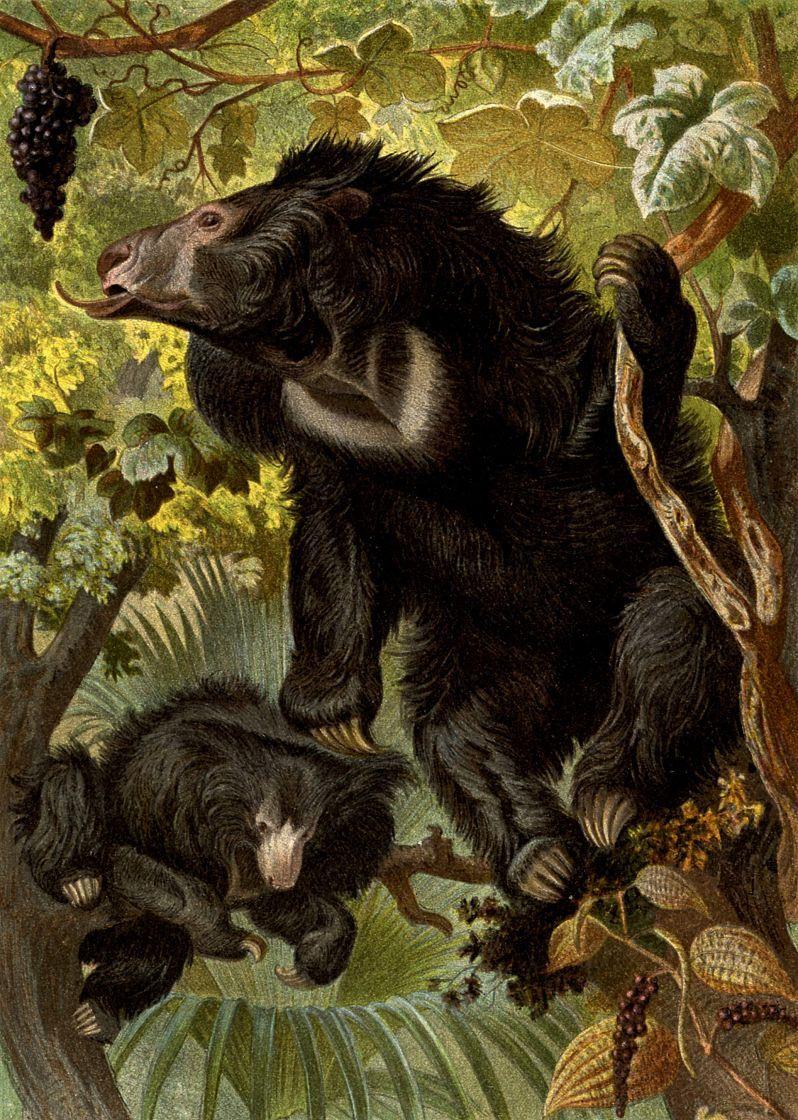 Медведь-губач (Meiursus ursinus )