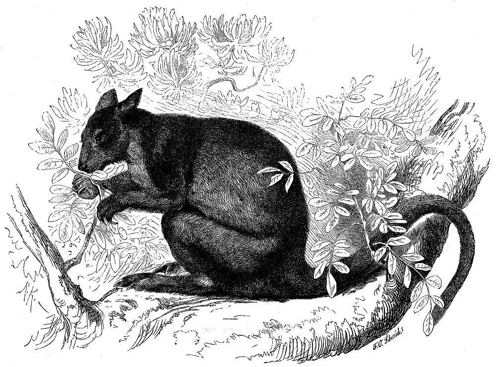 Медвежий кенгуру (Dendrolagus ursinus)