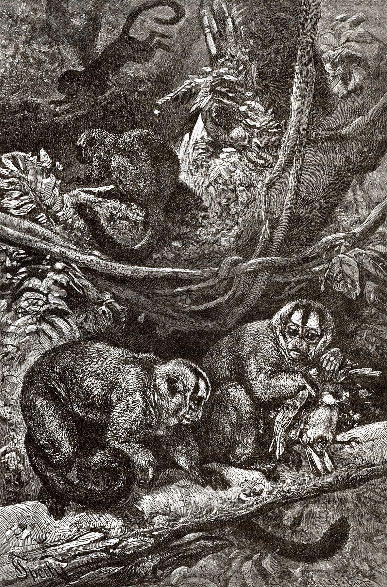 Мирикииа, или ночная обезьяна (Aotes trivirgatus)