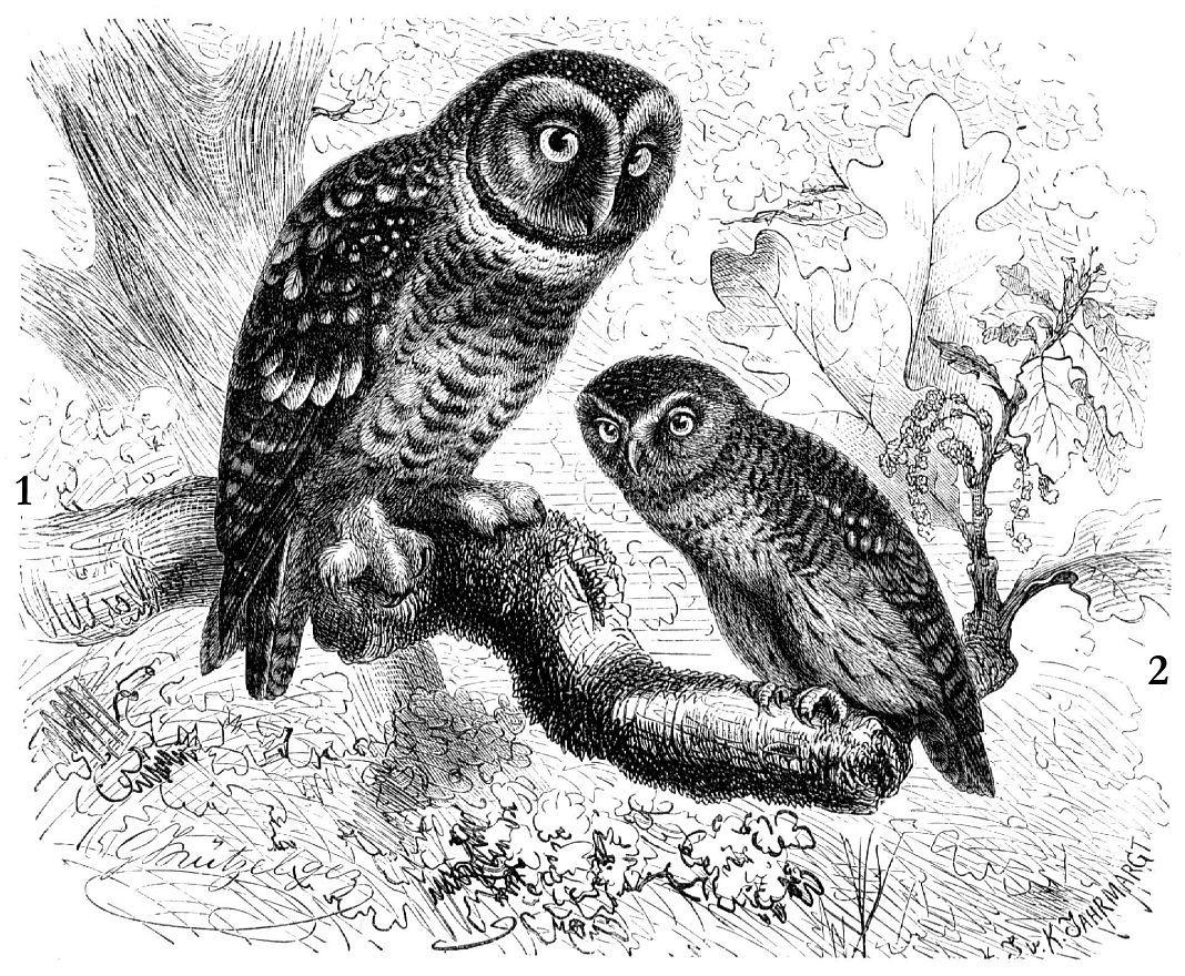 1 - Мохноногий сыч (Aegolius funereus); 2 - Воробьиный сыч (Glaucidium passerinum)