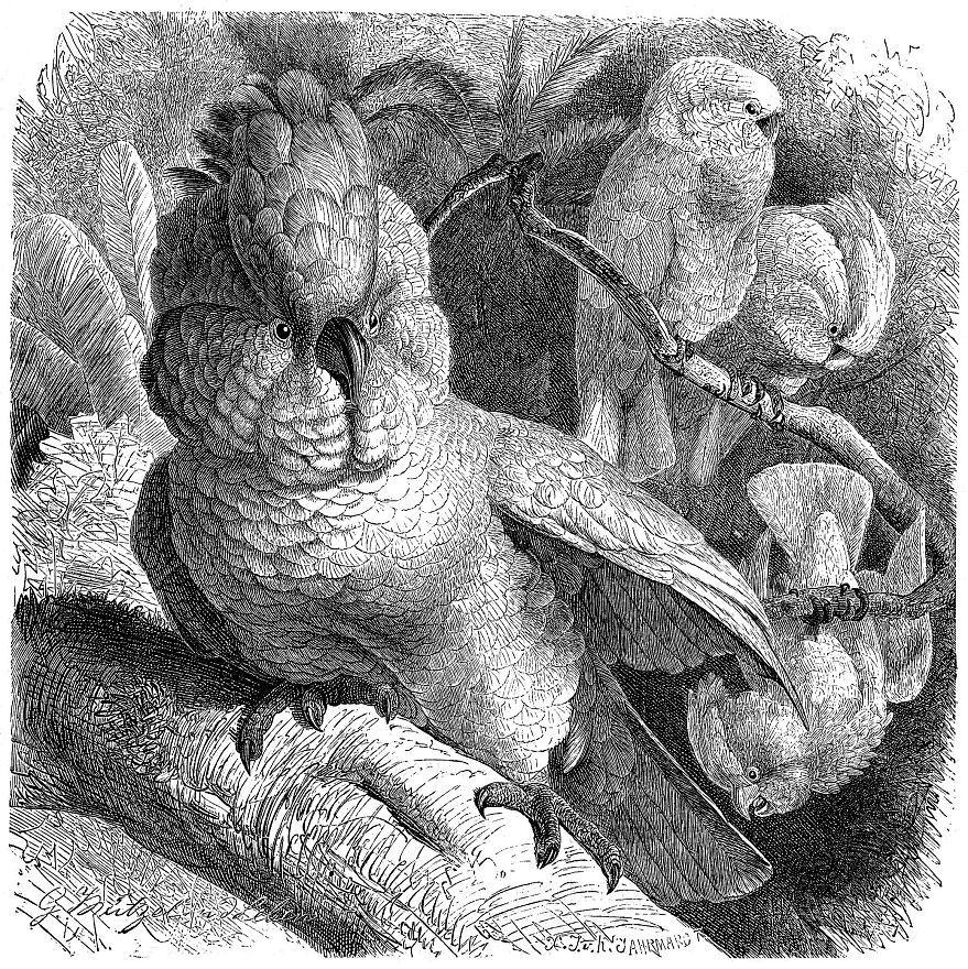 Молуккский какаду (Cacatua moluccensis)