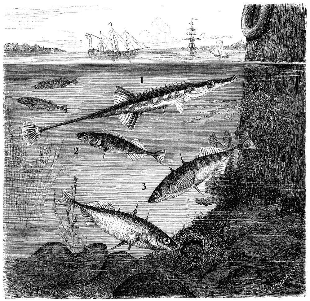 1 - Морская пятнадцатииглая колюшка (Spinacina spinachia) 2 - Девятииглая колюшка (Pungitius pungitius) 3 — Трехиглая колюшка (Gasterosteus aculeatus)