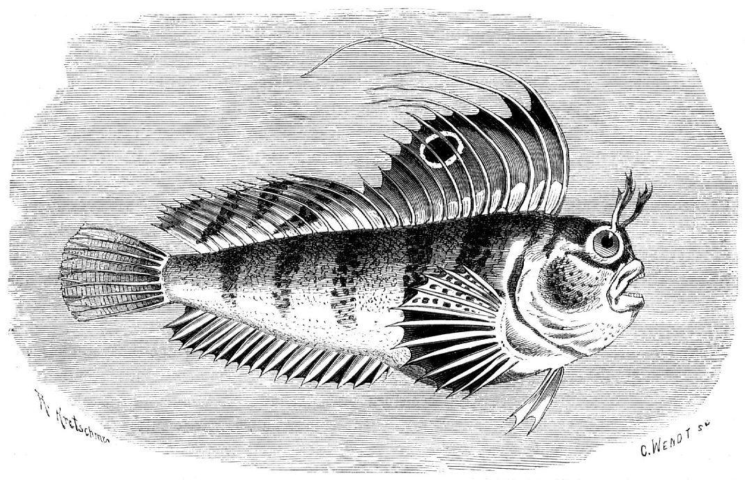 Морская собачка-бабочка (Blennius ocellaris)