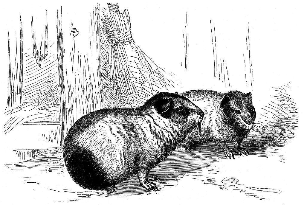 Морская свинка (Cavia porcellus)