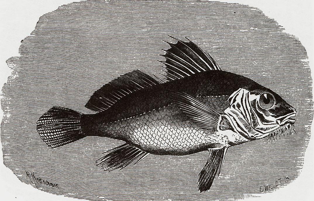 Морской барабанщик, или бородатый темный горбыль (Pogonias cromis)
