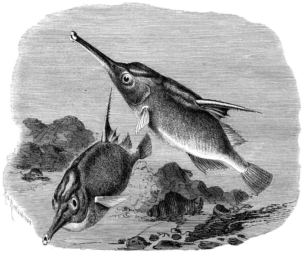 Морской бекас (Macrorhamphosus scolopax)
