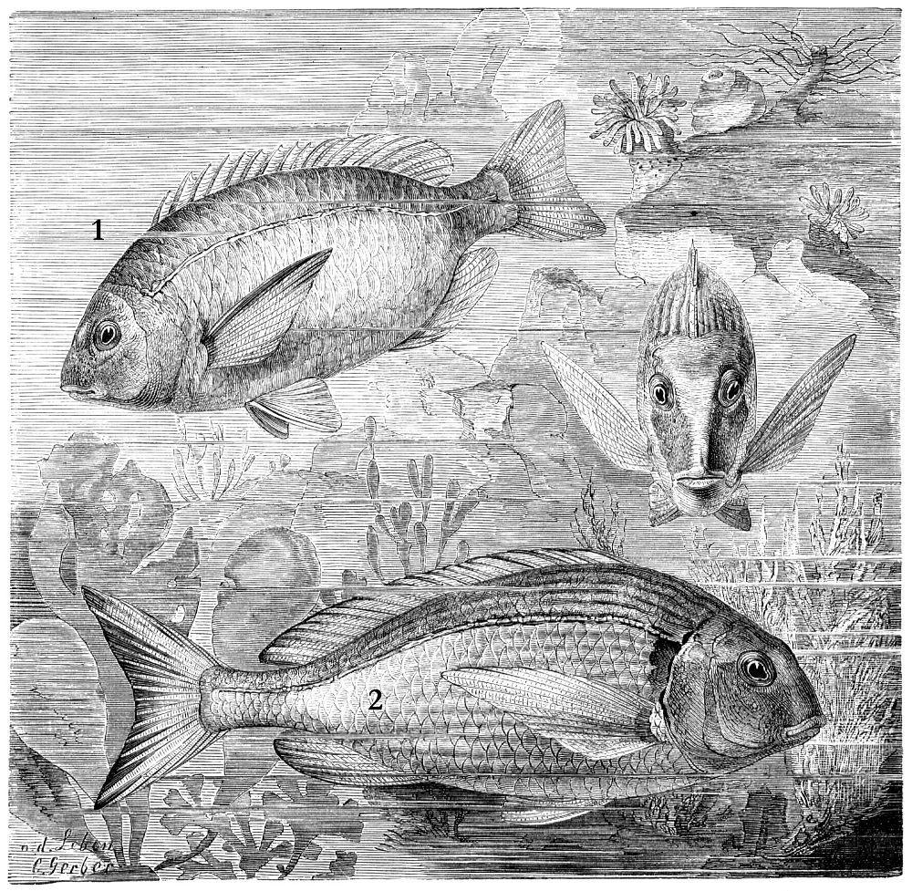 1 - Морской карась, или ласкирь (Diplodus annularis) 2 - Аурата, или дорада (Sparus auratus)