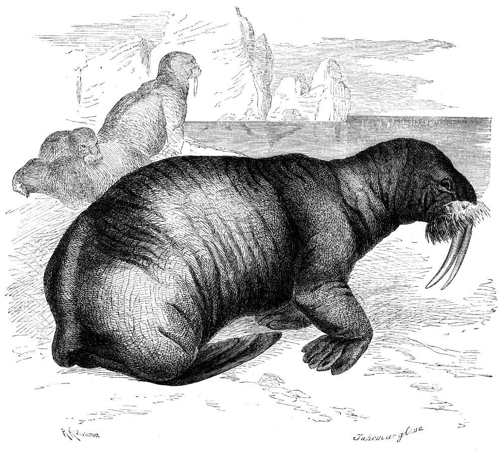 Морж (Odobenus rosmarus)