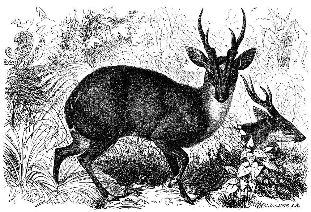 Мунтжак (Muntiacus muntjak)