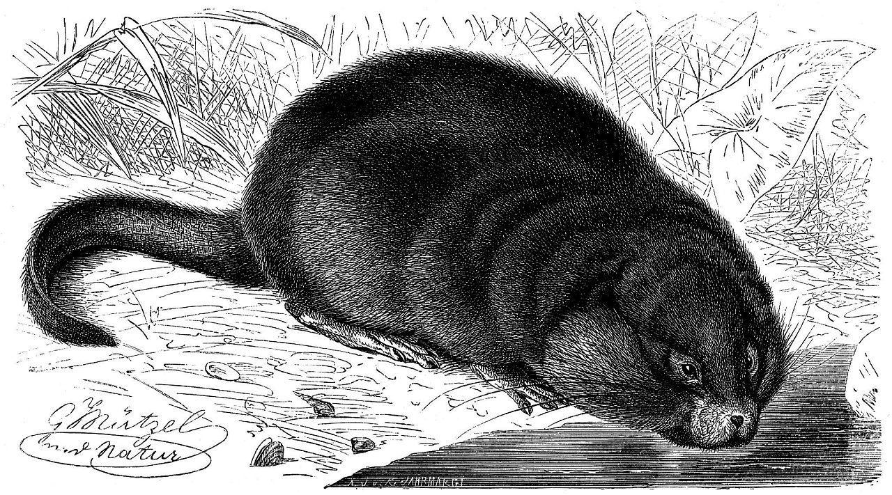 Мускусная крыса, или ондатра (Ondatra zibet hieus)