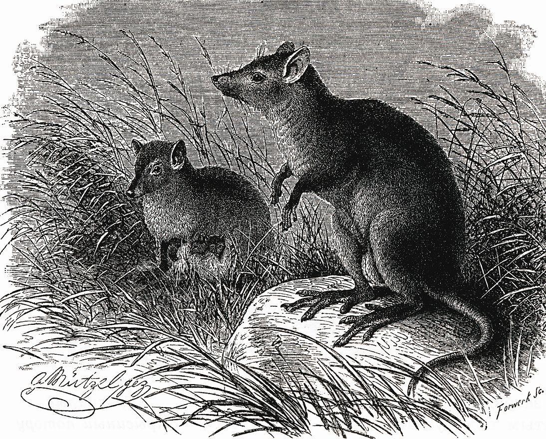 Мускусный кенгуру (Hypsiprymnodon moschatas)