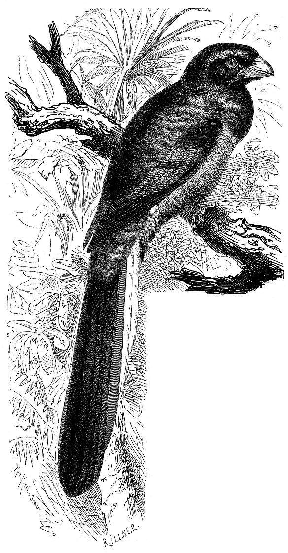 Нарина, или уздечковый африканский трогон (Apaloderma narina)