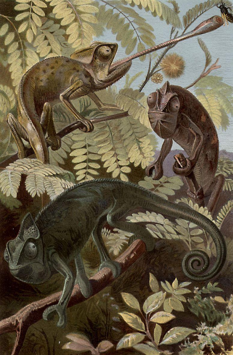 Настоящие хамелеоны (Chamaeleo)