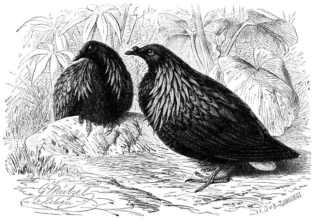 Никобарский голубь (Caloenas nicobarica)