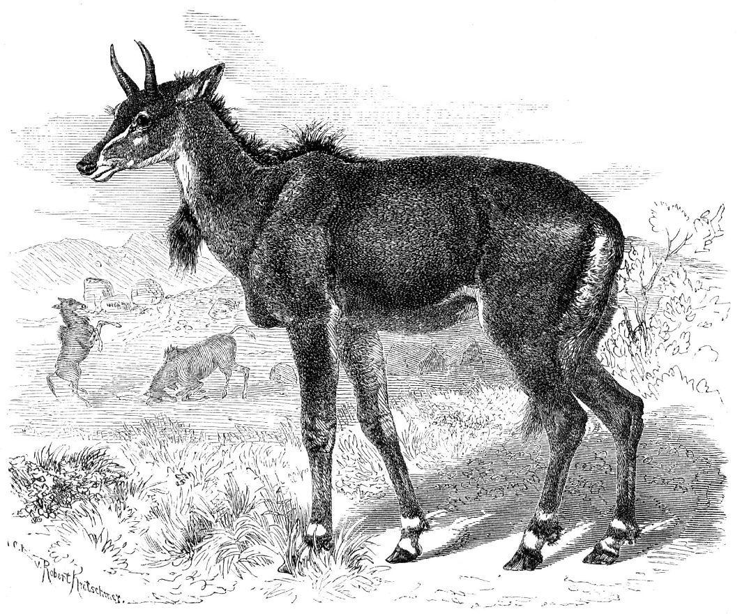 Нильгау (Boselaphus tragocamelus)