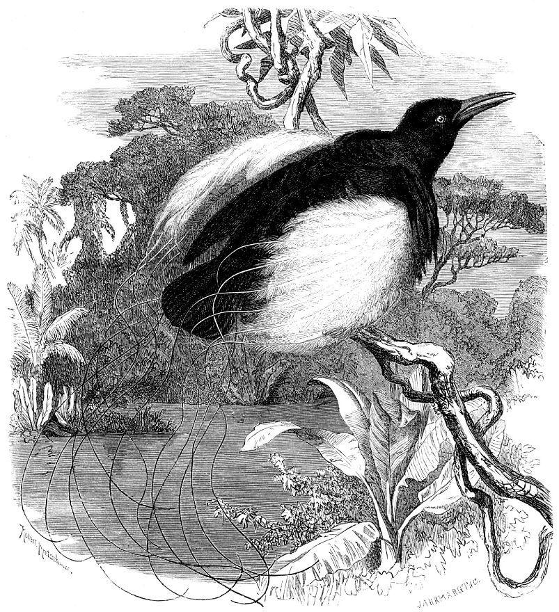 Нитчатая райская птица (Seleucides melanoleuca)