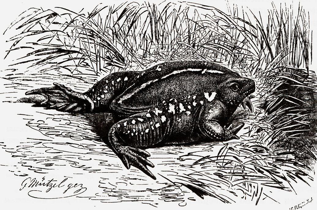 Носатая жаба (Rhinophrynus dorsalis)