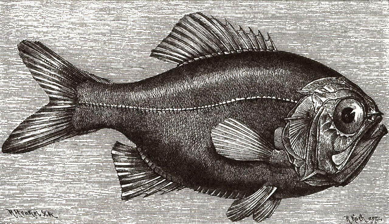 Новозеландский слизеглав (Trachichthys traillii)