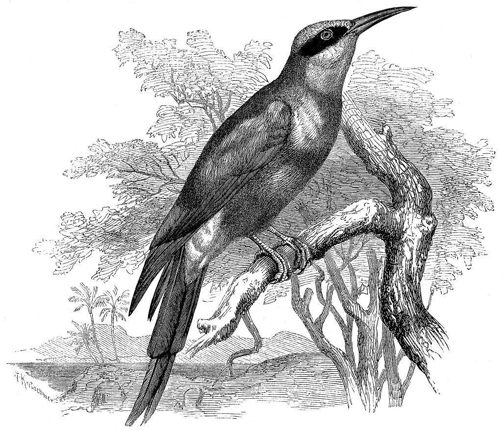 Нубийская, или красная щурка (Merops mtbicus)