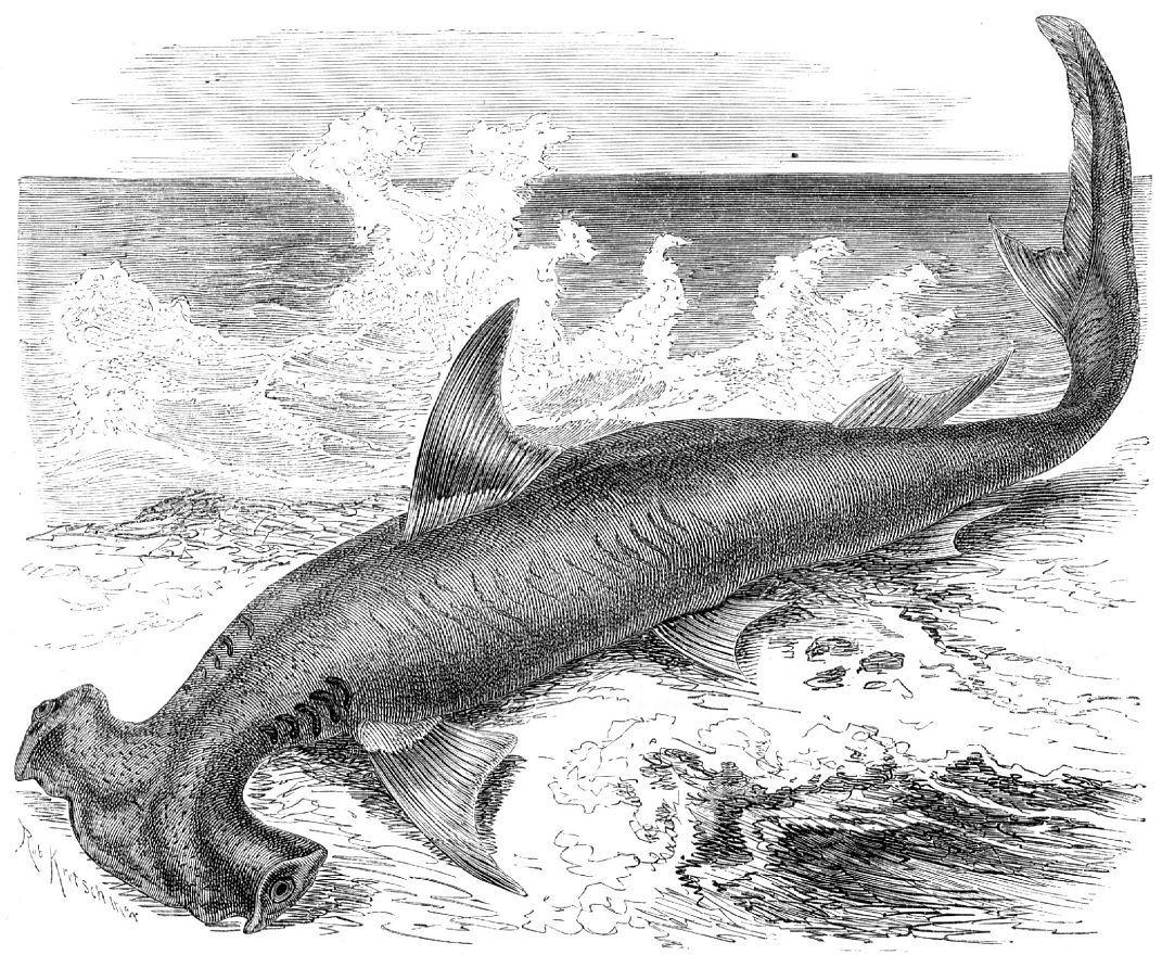 Обыкновенная акула-молот (Sphyrna zygaena)