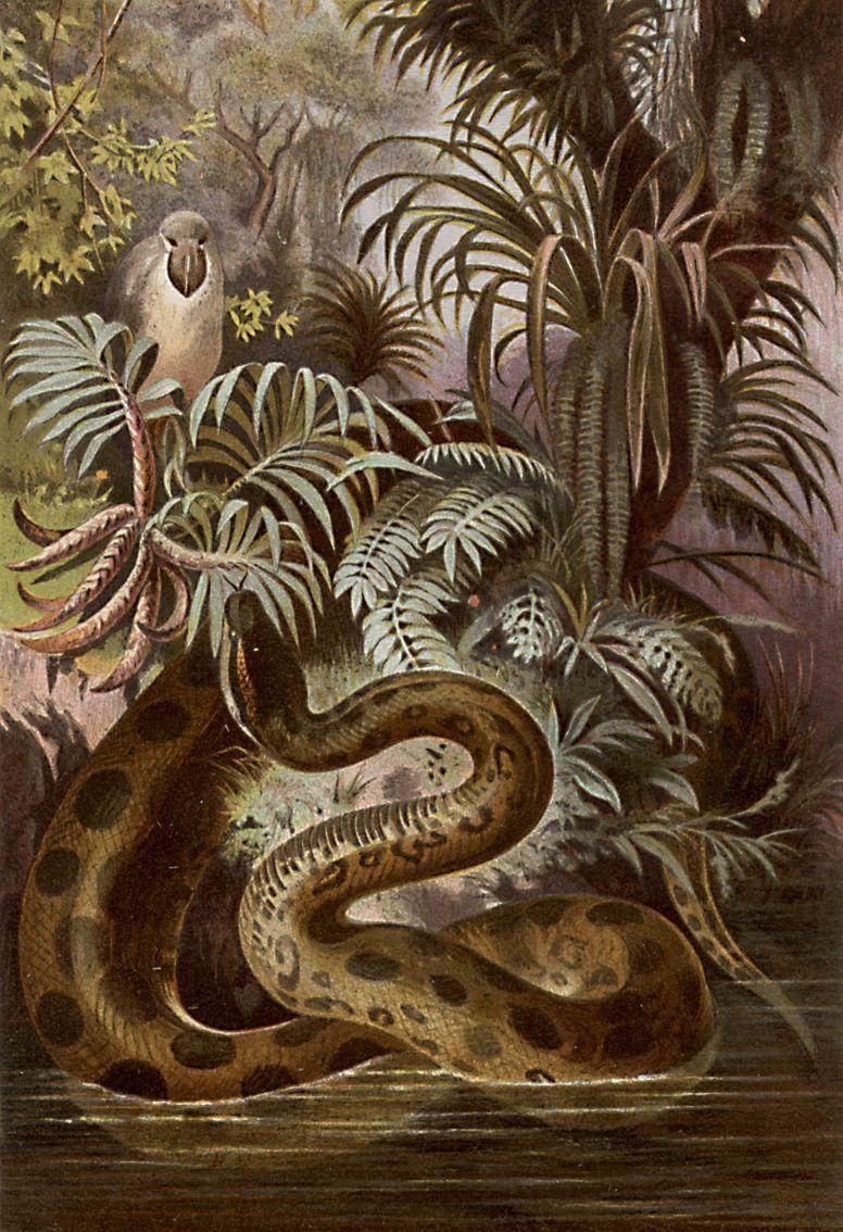 Обыкновенная анаконда (Eunectes murinus)