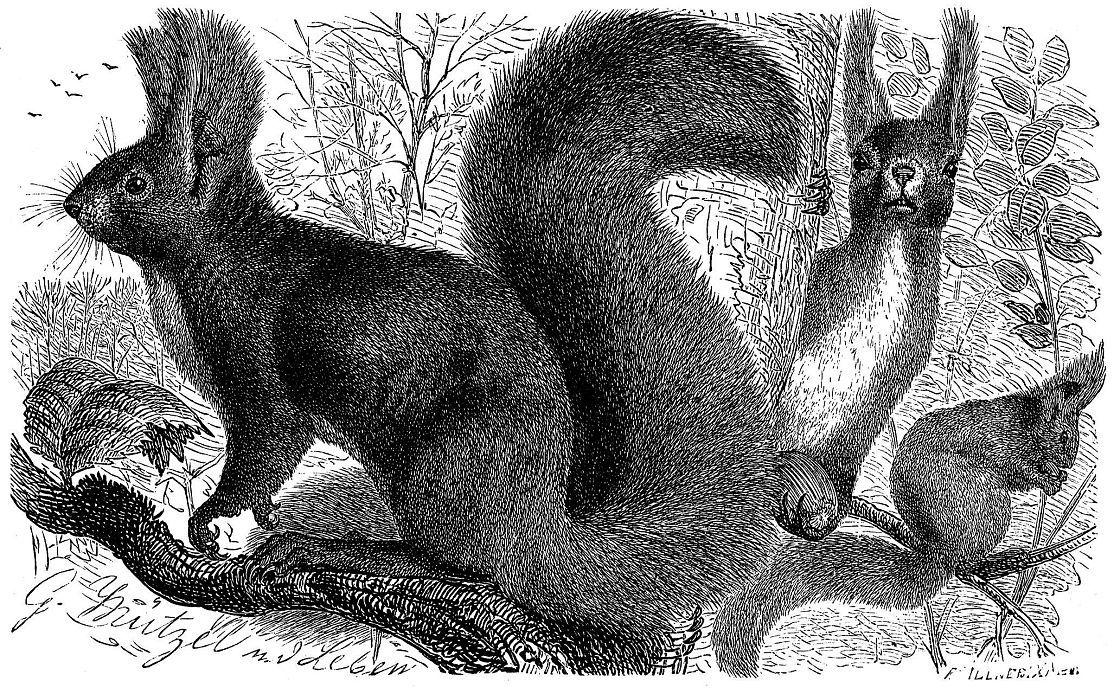 Обыкновенная белка, или векша (Sciurus vulgaris)