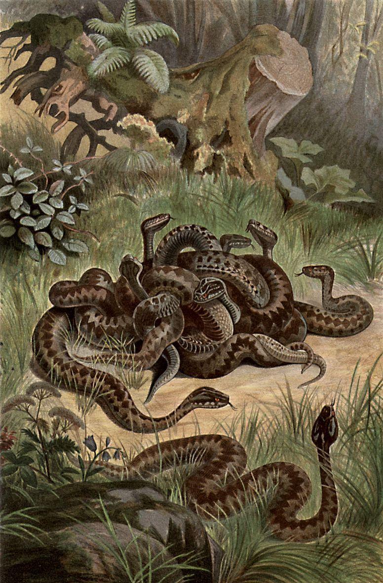 Обыкновенная гадюка (Vipera berus)