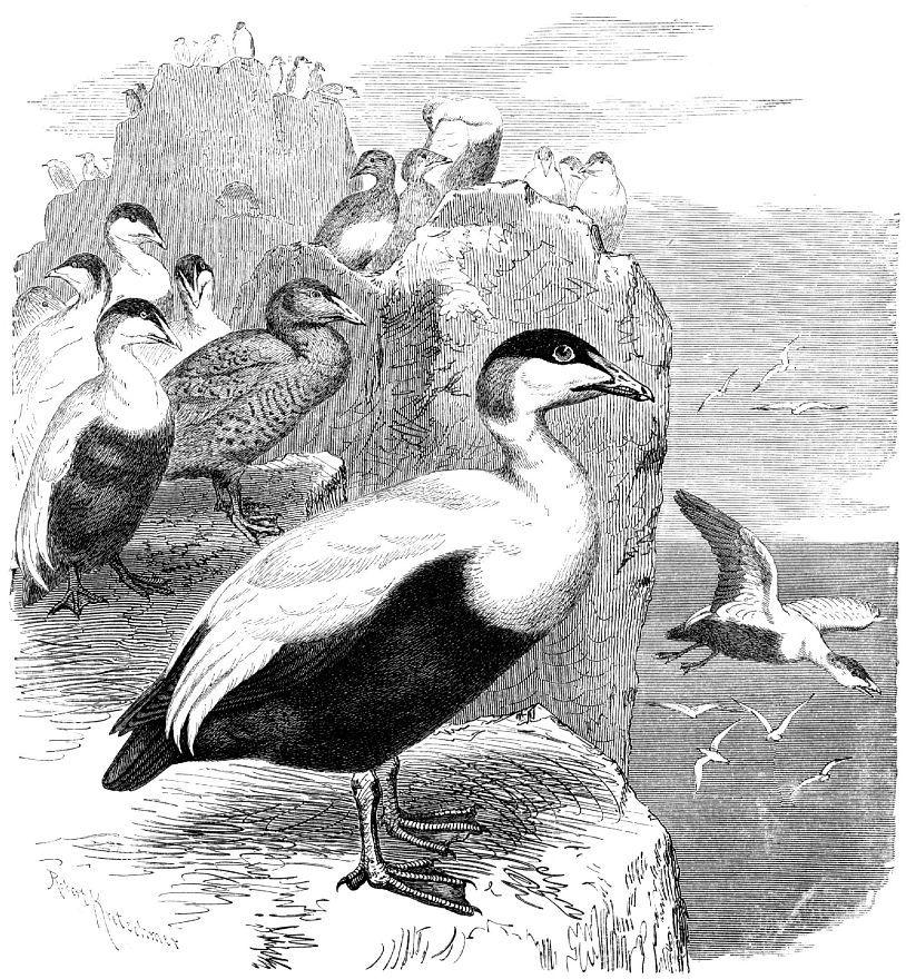 Обыкновенная гага (Somateria mollissima)
