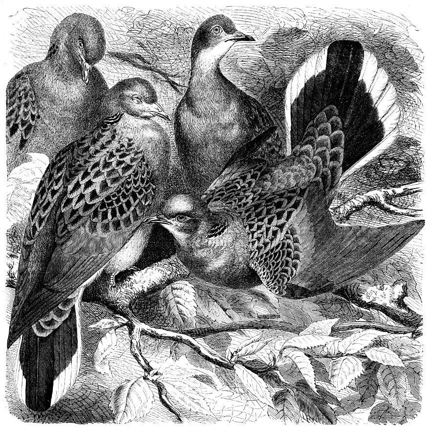 Обыкновенная горлица (Streptopelia turtur)