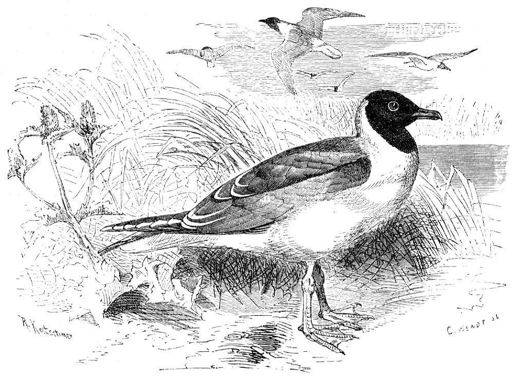 Обыкновенная, или озерная, чайка (Lams ridibundus)
