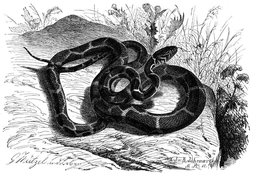 Обыкновенная, или цепная, королевская змея (Lampropeltis getulus)