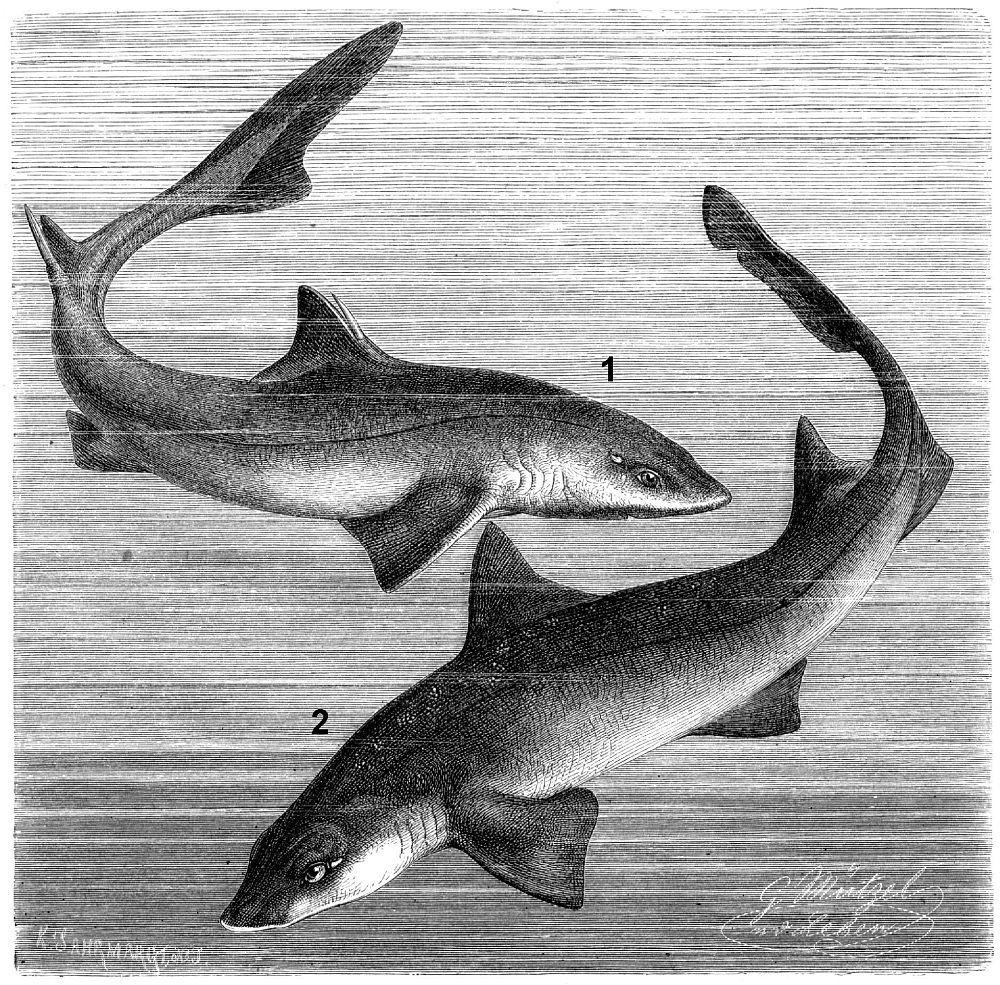 1 - Обыкновенная колючая акула (Squahts acanthias) 2 - Европейская кунья акула (Mustelus mustelus)