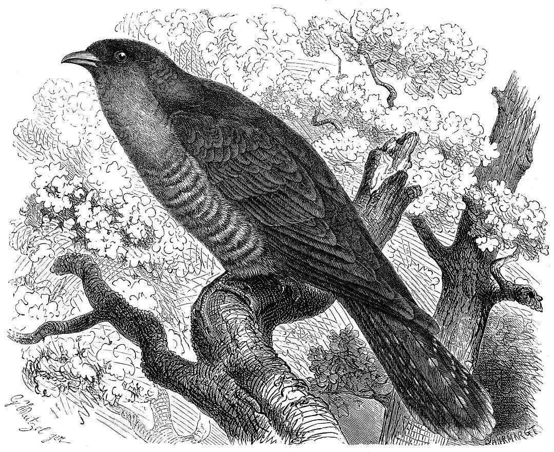 Обыкновенная кукушка (Сисиlus canorus)