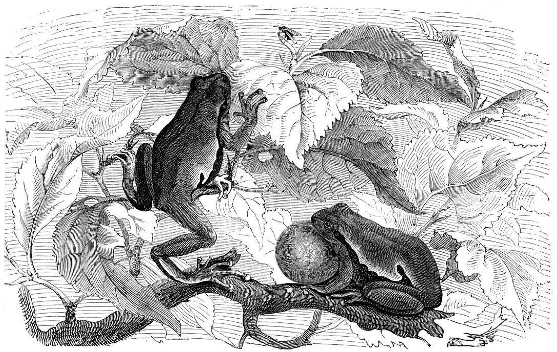 Обыкновенная квакша (Hyla arborea)