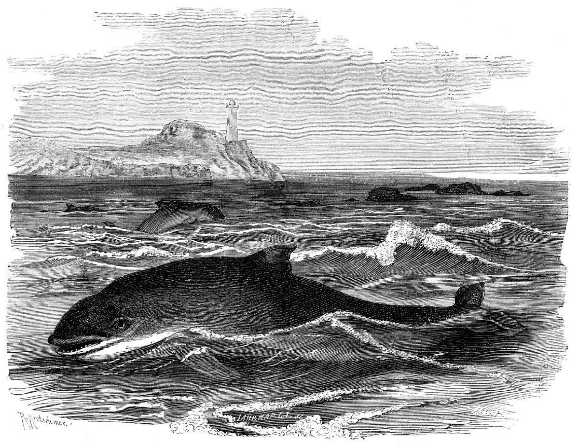 Обыкновенная морская свинья (Phocoena phocoena)