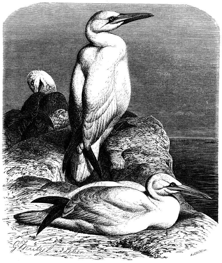 Обыкновенная олуша (Sula bassana)