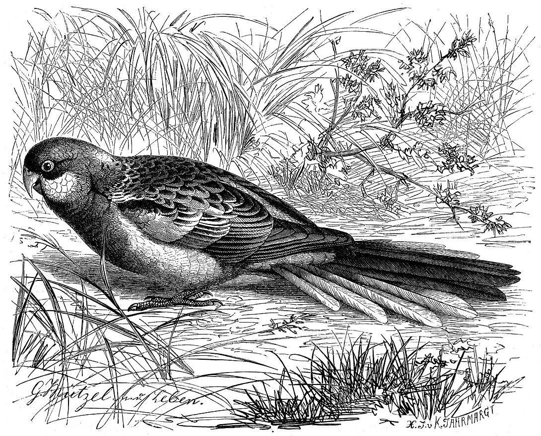 Обыкновенная розелла (Platycercus eximius)